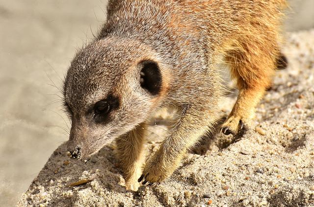 surikata v písku