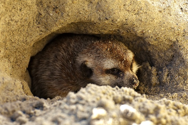 schovaná surikata